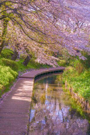 Sakura of the two-month territoryy water (Shukugawara Tsutsumi cherry trees)