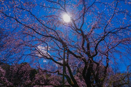Empty weeping cherry tree and the fine weather of Rikugien