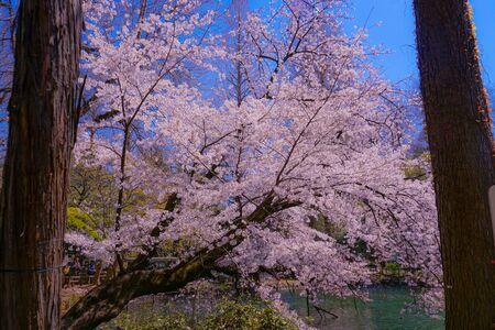 Cherry tree in full bloom of Inokashira Park