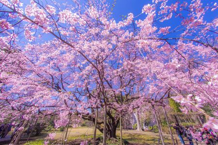 Weeping cherry tree and sunny blue sky 版權商用圖片