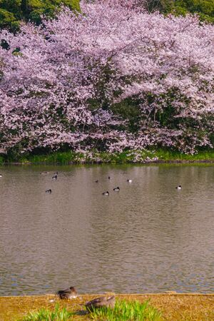Full bloom of cherry blossoms and Japanese garden