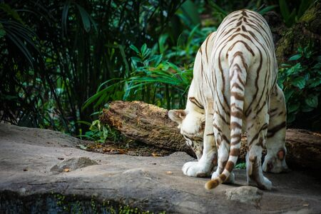 White Tiger Nestled in the jungle