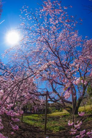 Weeping cherry tree and sunny blue sky Stok Fotoğraf