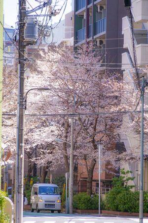 東京都駒込駅近くの桜