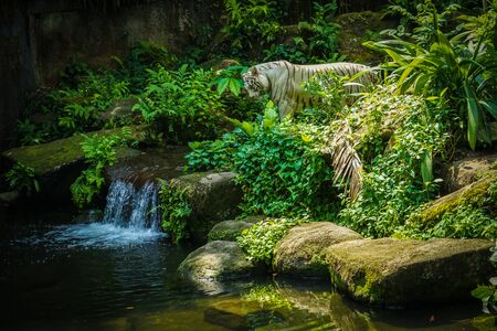 White Tiger it Nestled in the jungle 写真素材