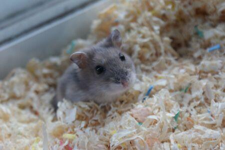 Cute Djungarian hamster image (sprue sapphire)