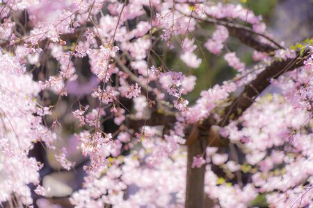 Image of the weeping cherry tree of Rikugien