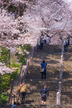 池上本門寺の満開の桜
