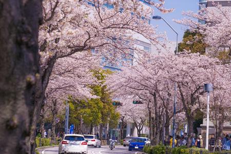 Sakura and Yokohama Minato Mirai rooftops of full bloom