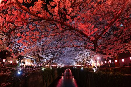Cherry blossoms in full bloom of Meguro River