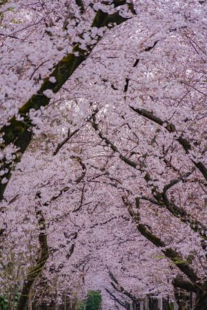 Cherry tree in full bloom of Aoyama Cemetery