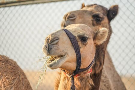 Of the Arabian desert camel (United Arab Emirates) 版權商用圖片