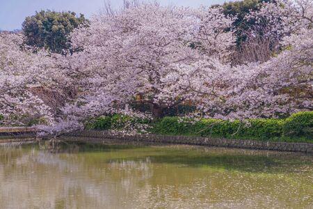 Sakura of Kamakura, Tsuruoka Hachiman