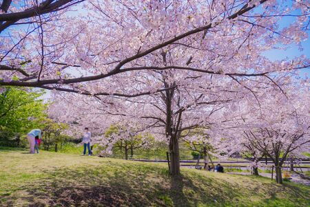Cherry tree in full bloom of Kasai Seaside Park