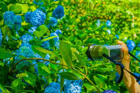 Blue hydrangea and fresh green
