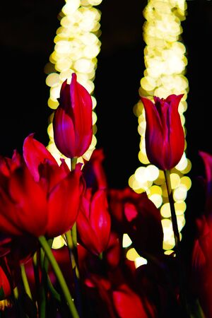 Red tulip and the light of the spotlight