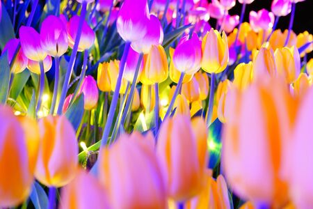 Colorful tulips and the night sky