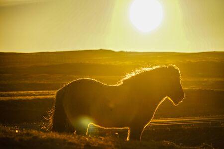Iceland hose standing in grassland of sunrise