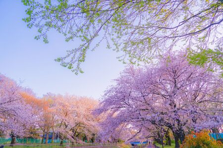 Zempukuji parkland of cherry and evening