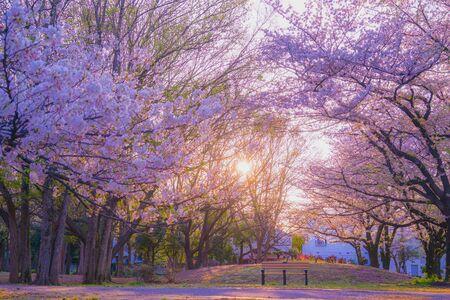 Zempukuji parkland of cherry and evening Stok Fotoğraf