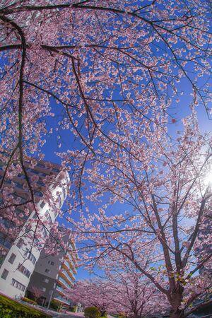 Sakura and the rooftops of full bloom of light hemp garment River