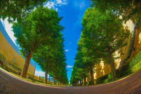 Ginkgo tree-lined streets of fresh green (Akishima)