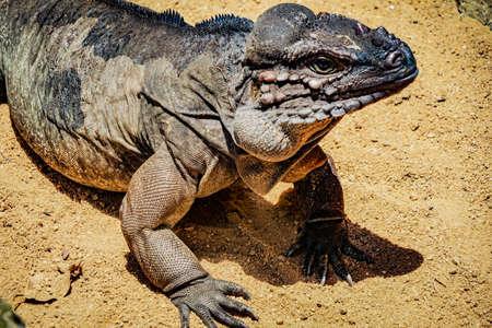 Walk the jungle Komodo dragon Фото со стока