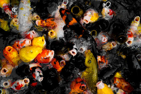 A large amount of colorful carp