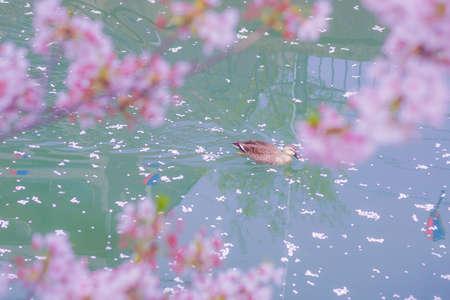 Duck to swim the river cherry blossoms fill