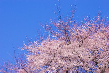 Cherry tree in full bloom of Chofu Фото со стока