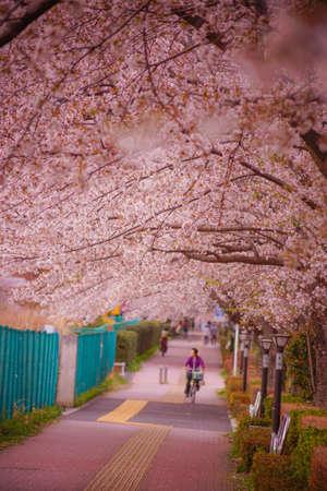 Chofu Airport of cherry trees. Shooting Location: Chofu, Tokyo