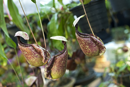 carnivore: Nepenthe tropical carnivore plant Stock Photo