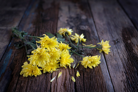 Yellow chrysanthemums flowers wilted on wooden background.