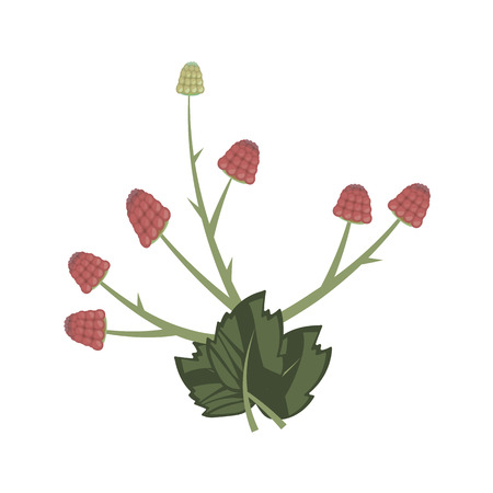 composition of dark leaves and red raspberries isolated on white background Иллюстрация