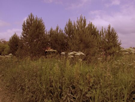 A group of green forest trees of fir with high meadow grass on the bottom edge