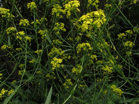 Bright yellow shining small blooming flowers in the grass against a dark background