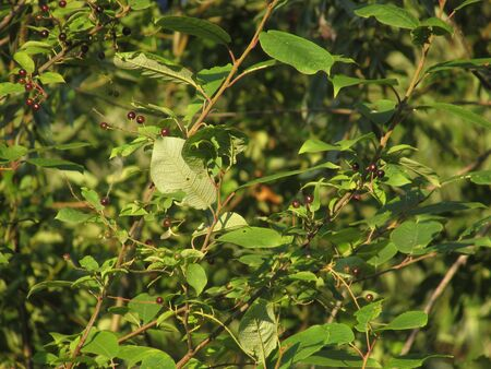 Branches of an unripe bird cherry surrounded by bright green summer leaves lit by the dawn sun with bright shadows.