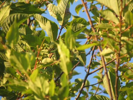 Branches of an unripe bird cherry surrounded by bright green summer leaves lit by the yellow dawn sun with bright shadows against a blue clear sky.