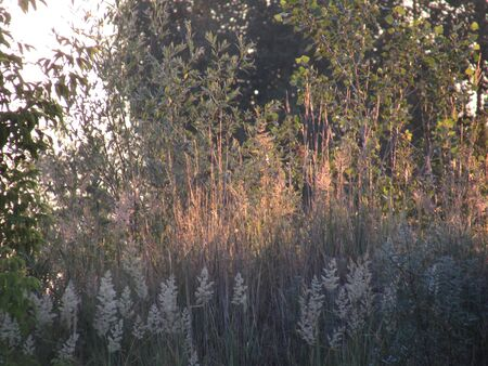 Light ears, dark wild meadow grass and forest trees, lit by the rising bright sun at dawn.