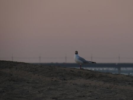 A gray black-headed gull at dawn stands on the sand of a beach.