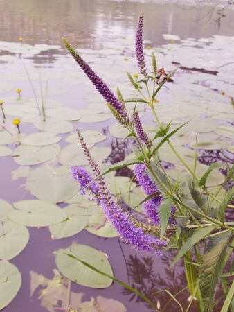Purple blooming inflorescences of spiked speedwell on the background of the water surface of the lake with blooming yellow water lilies on the water.