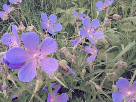Bright flowers of meadow geranium in a meadow against the background of green meadow grass.