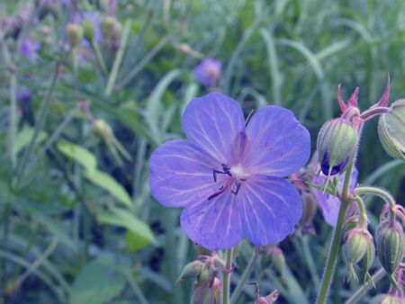 Large purple flower of meadow geranium against the background of vague summer grass. 免版税图像