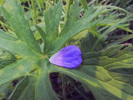 Violet petal in the shape of a heart of meadow geranium against the background of green large leaves with veins. Imagens