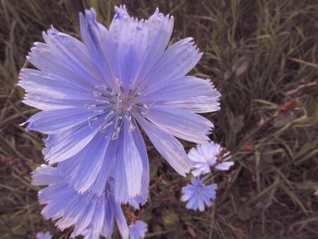 Blue light large flower of chicory against the background of dark green summer meadow grass. Imagens