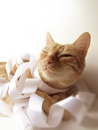 The ginger cat smiles in the sunlight and is wrapped in a wide bright milky pastel color satin with a ribbon.