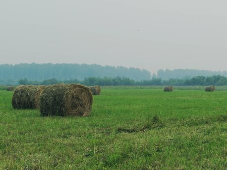 Landscape with green meadow, forest in the distance and twisted haystacks of dry brown hay on a foggy day.