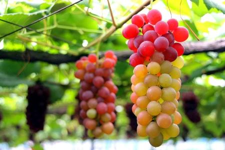 colorfuf grape