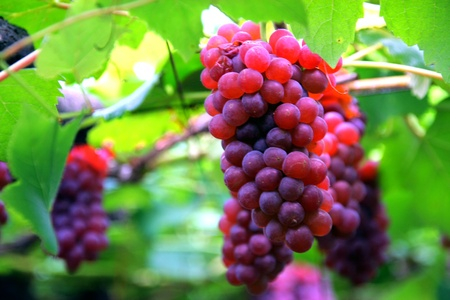 bunch of hearts: grapes Stock Photo