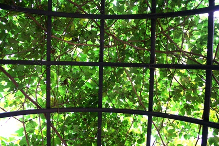 Branches of green vines and iron Formwork Stock Photo - 9625069
